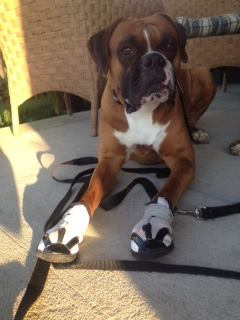 Boxer Wearing Orthopedic Booties