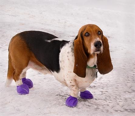 Basset Hound Wearing Dog Booties