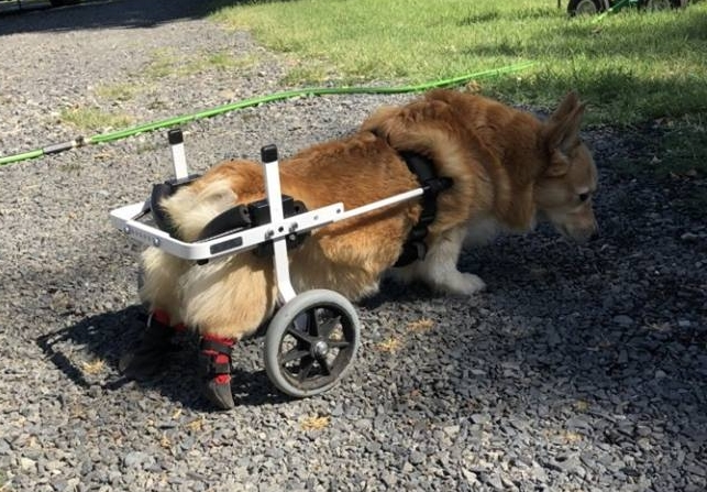 Corgi In Boots and Wheelchair