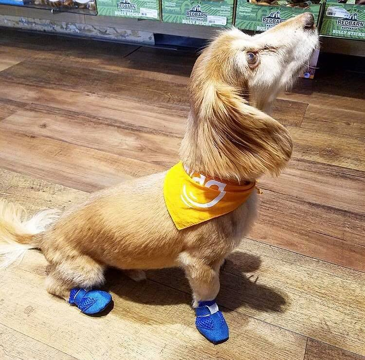 Dachshund Wearing Mini Meshies Hot Pavement Booties