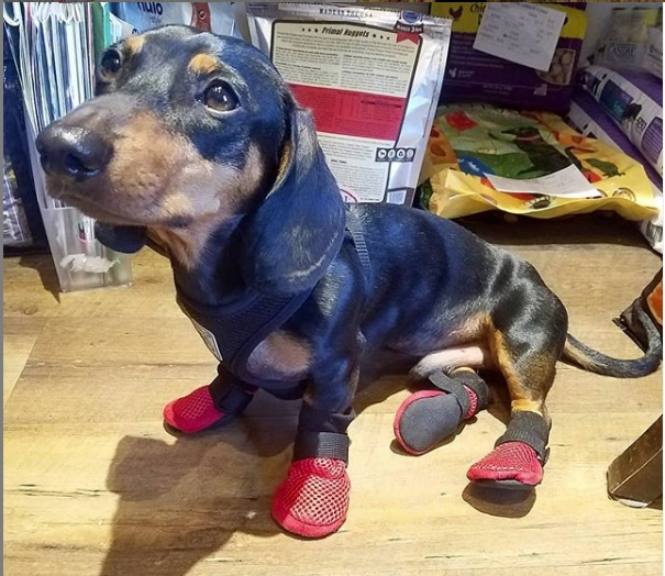Dachshund Wearing Meshies Summer Booties