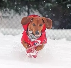 Dachshund Running in Pawz Snow Booties