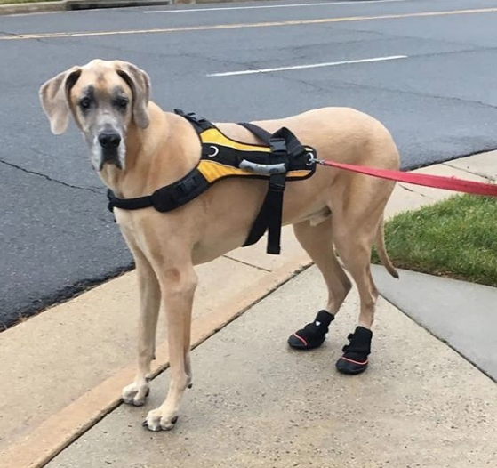 Great Dane Boots for Hip Dysplasia