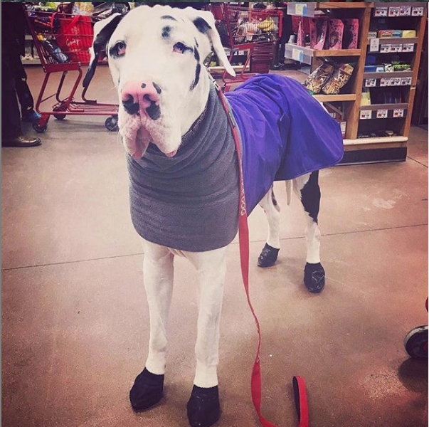 Great Dane Snow Boots