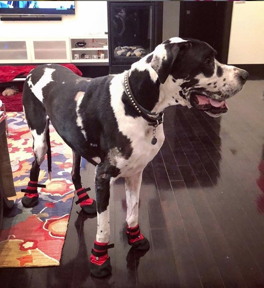Great Dane Wearing Boots for Dysplasia
