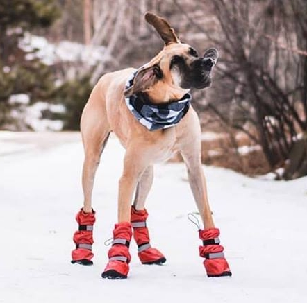 Great Dane Winter Booties