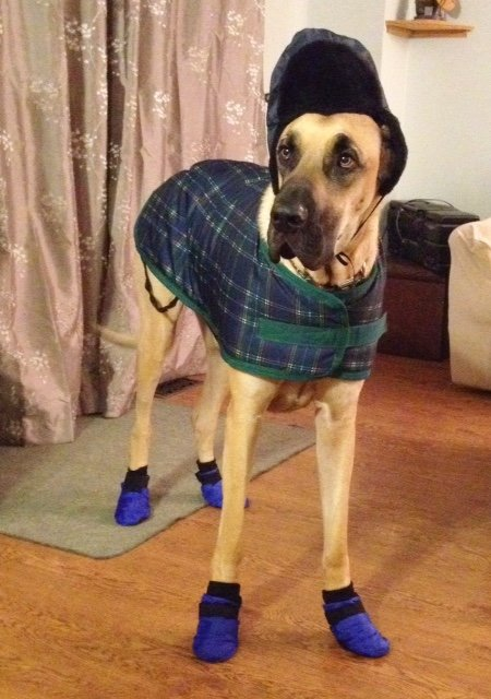 Great Dane dressed for winter in boots