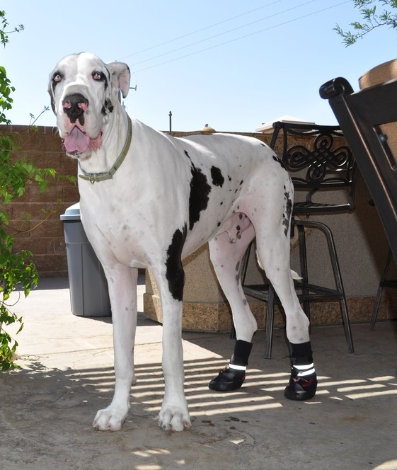 Great Dane Wearing Boots for Dragging Paws