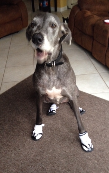 Great Dane Wearing Non Slip Boots