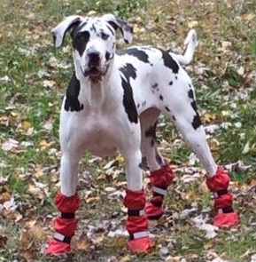 Great Dane wearing winter booties