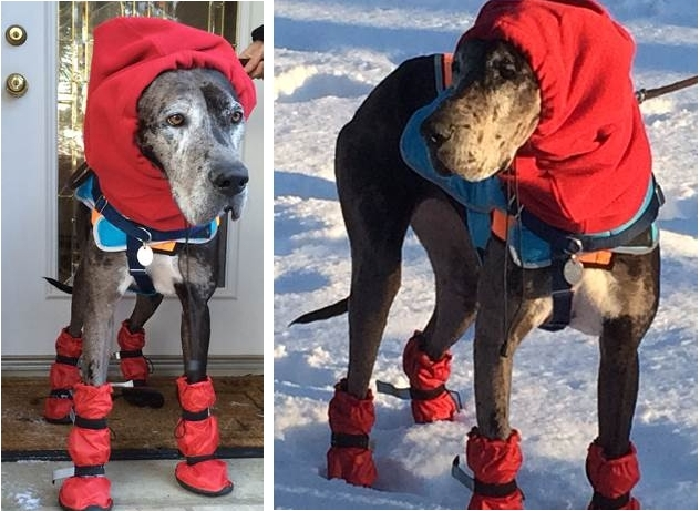 Great Dane Wearing Winter Boots