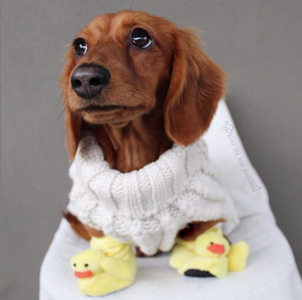 Mini Dachshund Wearing Ducky Slippers