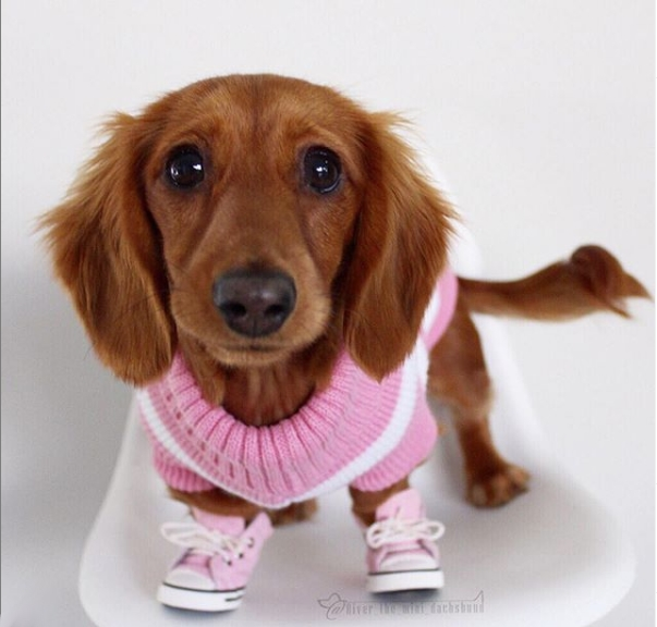 Mini Dachshund Wearing Sneakers