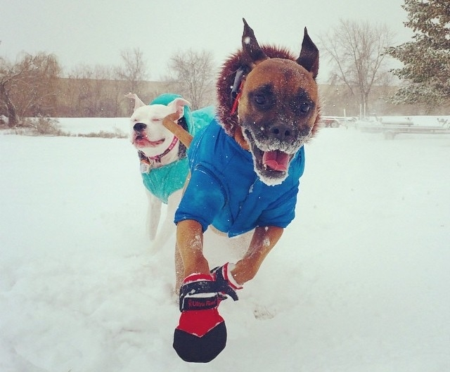 Boxer Running in Snow Boots