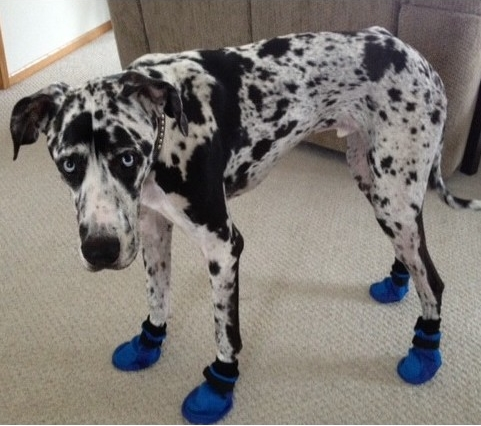 Great Dane Wearing Traction Booties