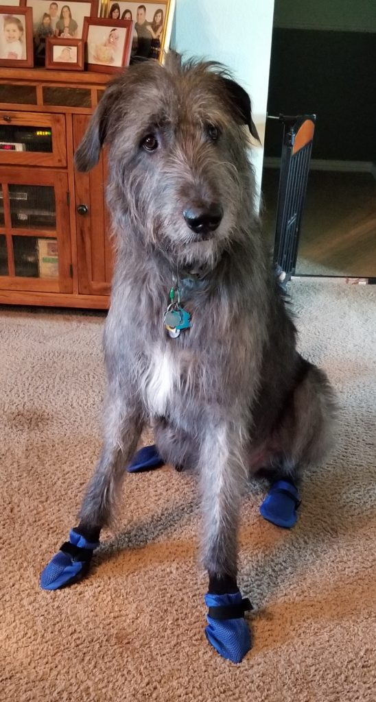 Irish Wolfhound Wearing Non Slip Boots