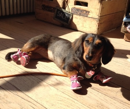 Dachshund Wearing Sneakers